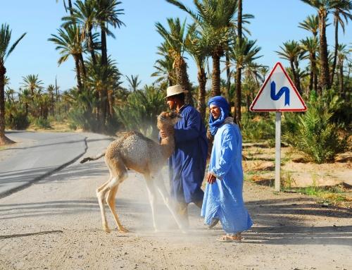 Maroc – La palmeraie